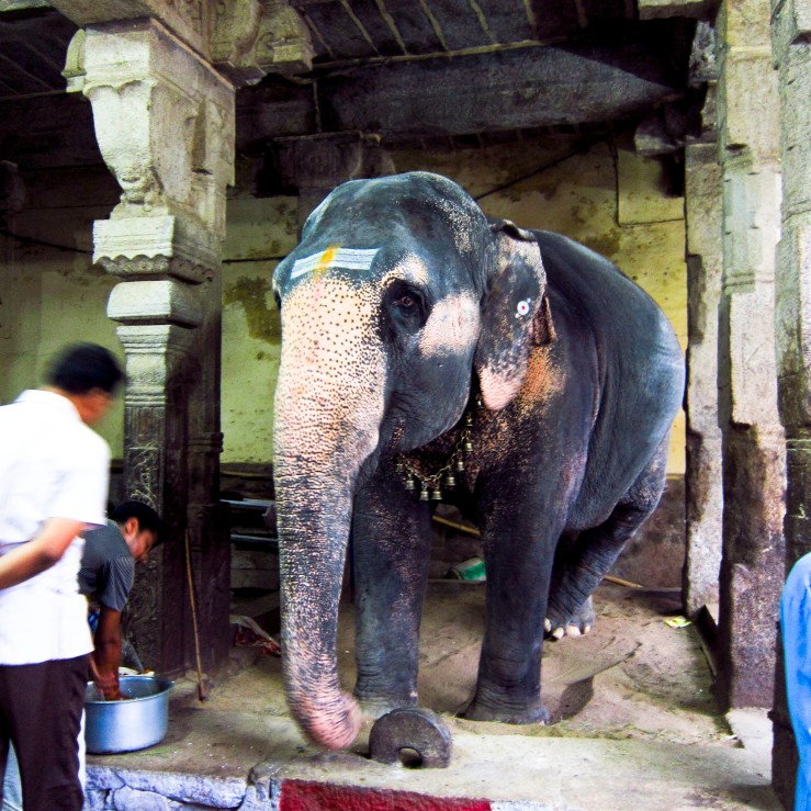 Elephant in Trichy